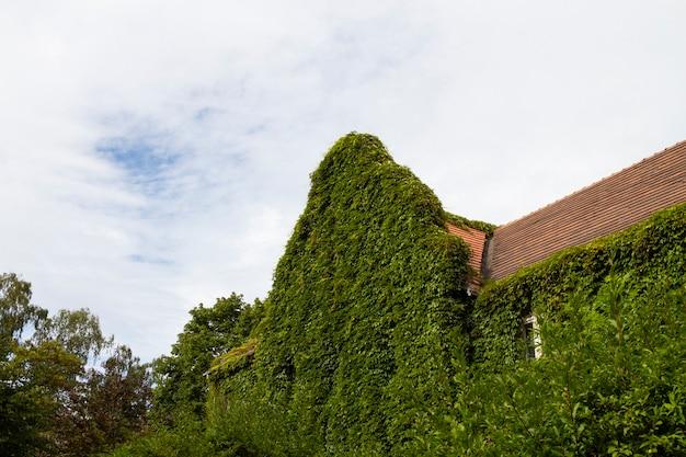 Gevel van oud huis met groen struikgewas van modderkruiper op muur met raam