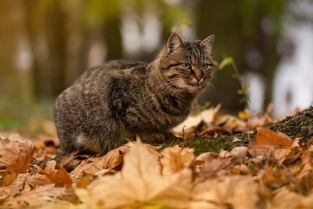Gevlekte cyperse mooie kat. gestreepte cyperse kat. schattige cyperse kat loopt in het herfstpark.