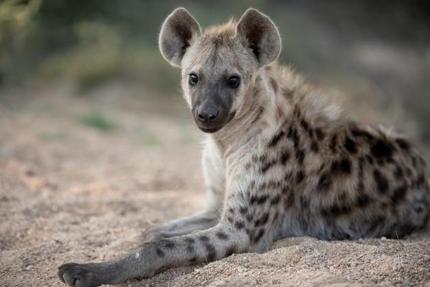 Gevlekte hyena die op de grond rust