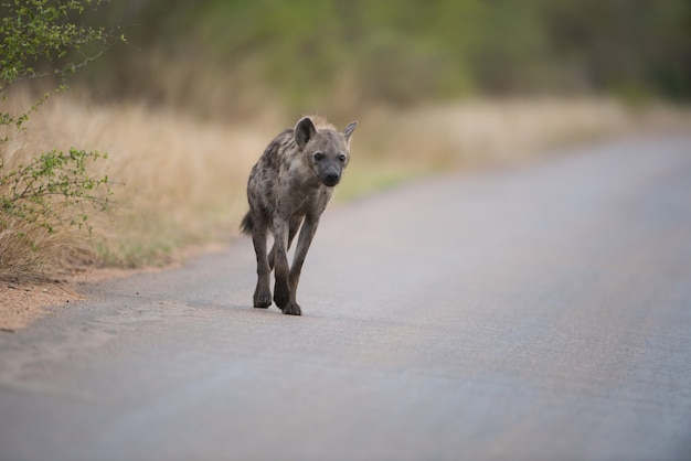 Gevlekte hyena die op de weg loopt
