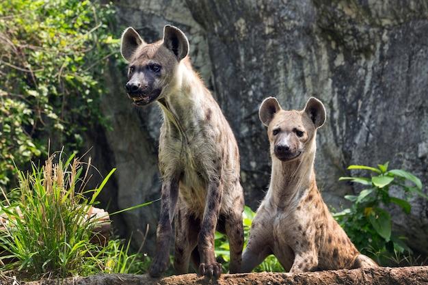 Gevlekte hyena in de wilde natuur.