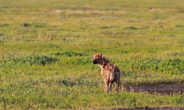 Gevlekte hyena in savanne van serengeti, tanzania