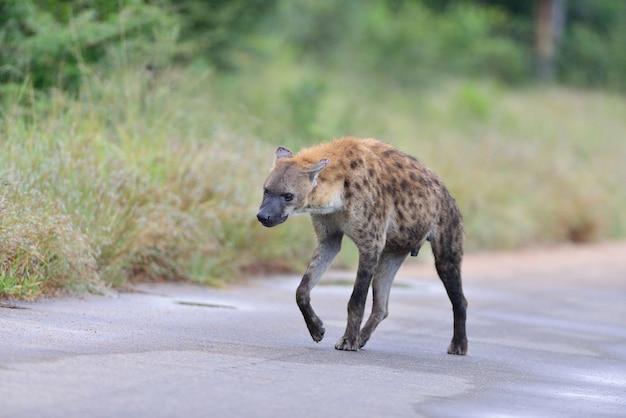 Gevlekte hyena op een weg die door gras wordt omringd