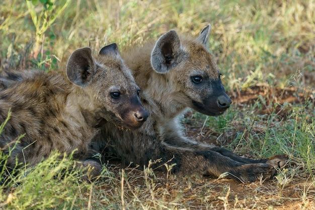 Gevlekte hyena's die op de grond rusten