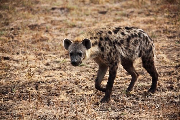 Gevlekte hyena wandelen in savana