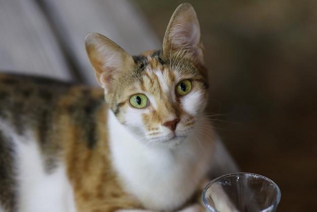 Gevlekte kat met gele ogen ziet er recht uit.