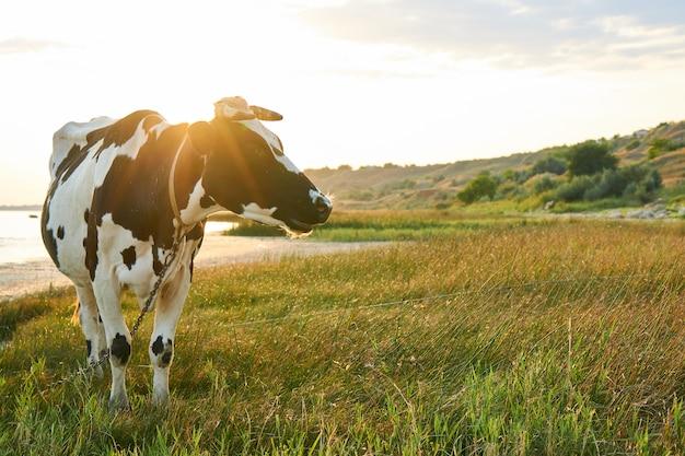 Gevlekte koe graast in een weide nabij de zee