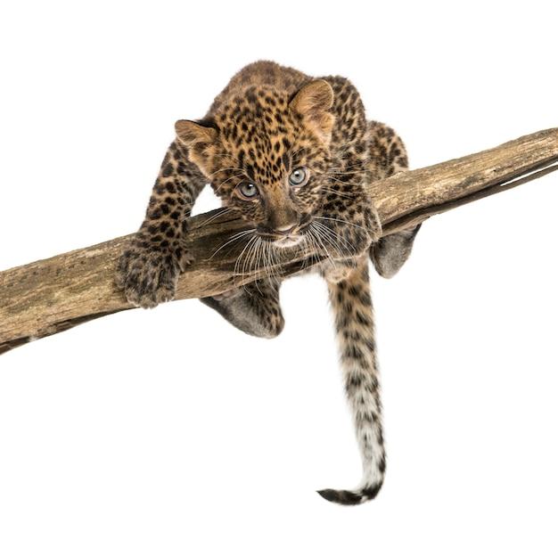 Gevlekte luipaardwelp die op een tak onder ogen zien en rondsnuffelen