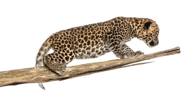 Gevlekte luipaardwelp die op een tak rondsnuffelen