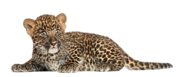 Gevlekte luipaardwelp liggend