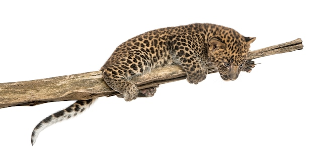 Gevlekte luipaardwelp op een tak die neer eruit ziet
