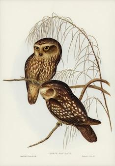 Gevlekte owl (athene maculate) geïllustreerd door elizabeth gould