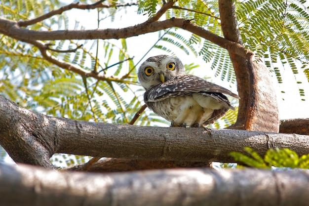 Gevlekte owlet athene brama prachtige vogels van thailand