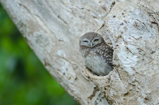 Gevlekte owlet (athene brama)