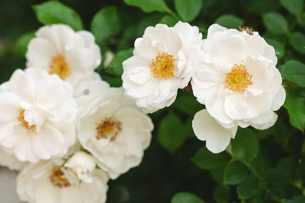 Gevoelige bloeiende struik met rozen en wilde roos, witte kleur