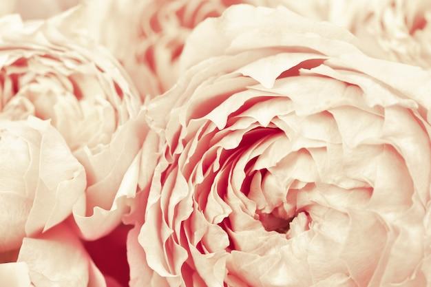 Gevoelige bloemblaadjes van david austin-rozen, champagnekleurige bloeiende roze bloem als natuurlijke achtergrond, zachte bloemenkaart.