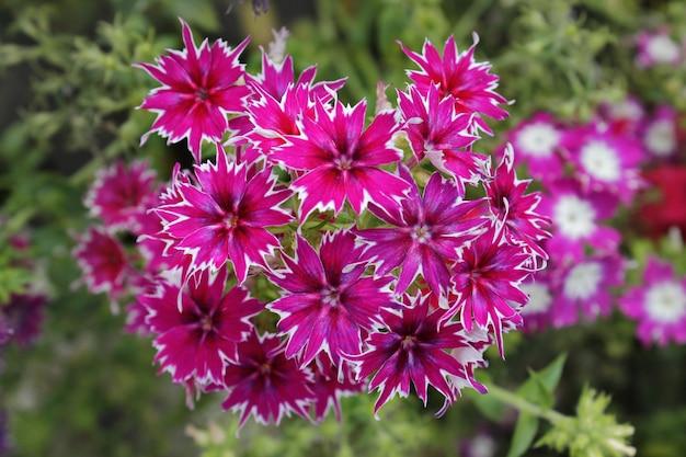 Gevoelige roze bloemen in de tuin op een natuurlijke groene achtergrond. selectieve zachte focus. bovenaanzicht.