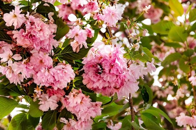 Gevoelige roze sakurabloemen op boomtakken op het hanami sakura blossom festival in okinawa, japan