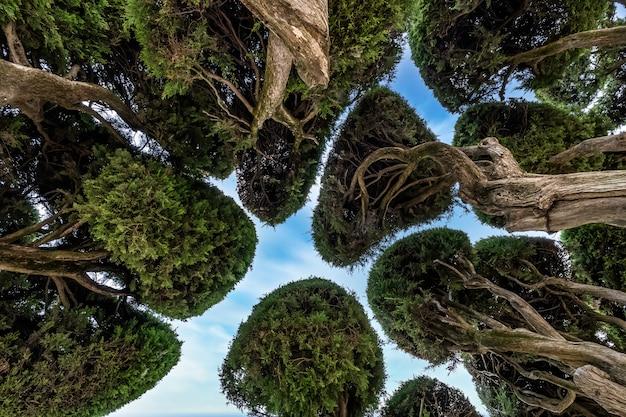 Gevormde kronen van cipressen in buen retiro park, madrid, spanje.