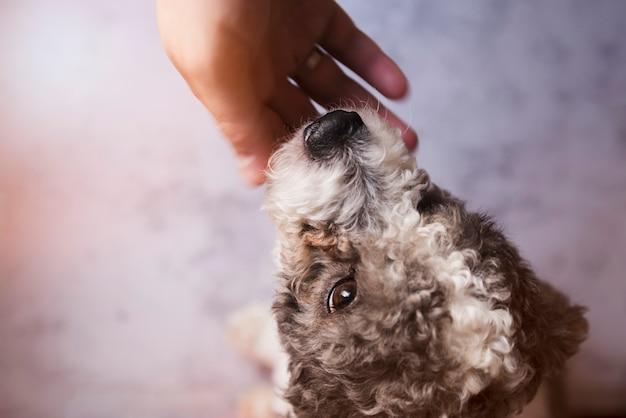 Gewas persoon kloppend krullende puppy