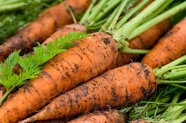 Gewas van verse biologische ongewassen wortelen met topjes