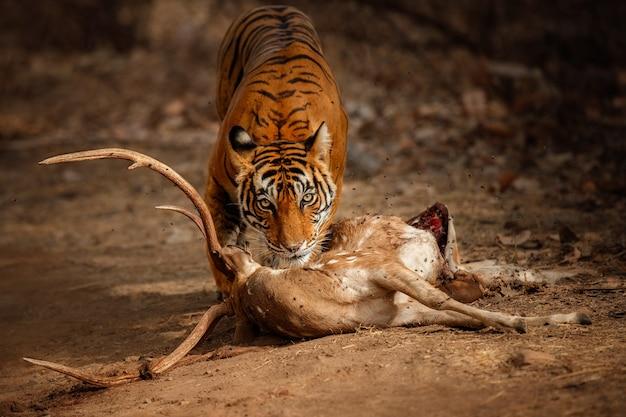 Geweldige bengaalse tijger in de natuur met zijn prooi
