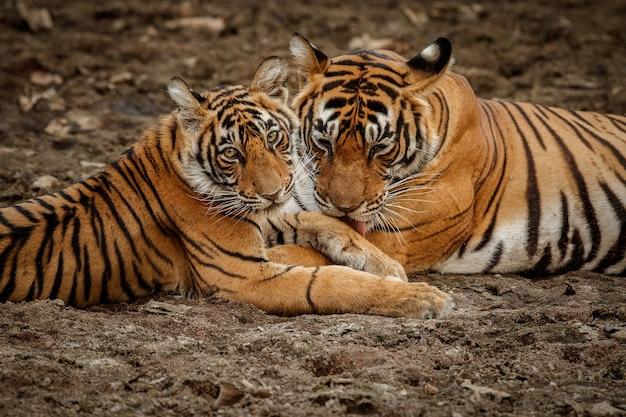Geweldige bengaalse tijger in de natuur