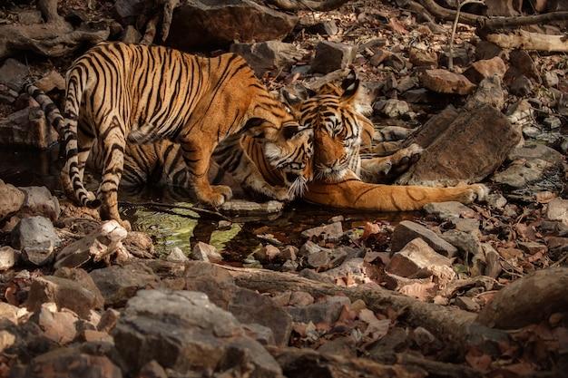 Geweldige bengaalse tijgers in de natuur