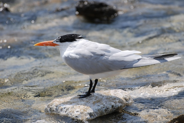 Geweldige koningssternvogel balancerend op een rots in de oceaan