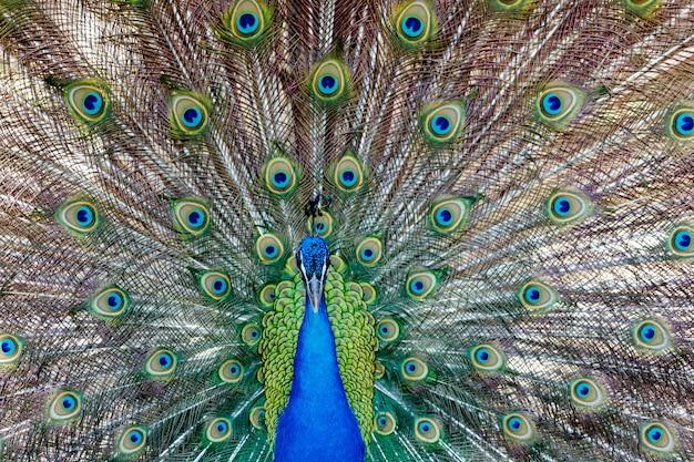 Geweldige pauw tijdens zijn tentoonstelling