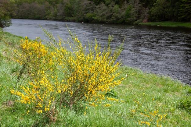 Gewone gaspeldoorn (ulex europaeus) stromend door een sottise rivier