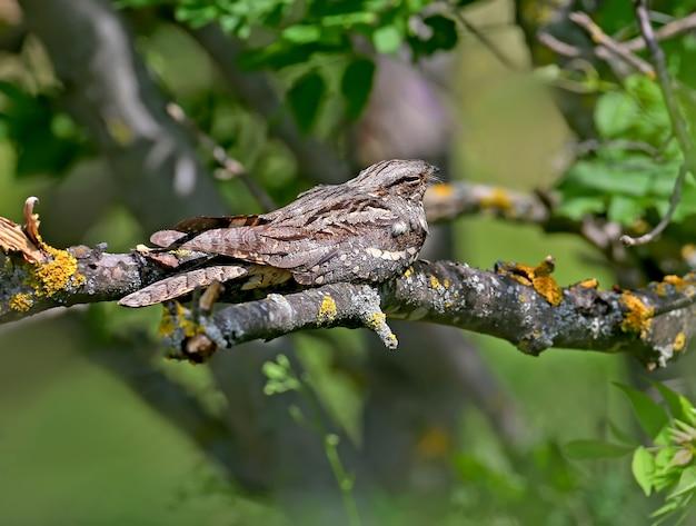 Gewone nachtzwaluw dutten op een droge tak in de middaghitte. close-upfoto van een ongewone vogel met een exotisch uiterlijk