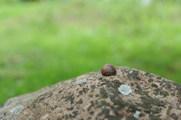 Gewone slak op een steen met mos