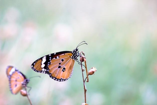 Gewone tijger danaus chrysippus vlinder bezoekt bloemen in de natuur tijdens de lente