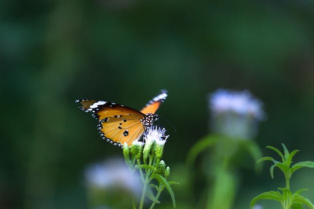 Gewone tijger danaus chrysippus vlinder die nectar drinkt van bloemplanten in de lente