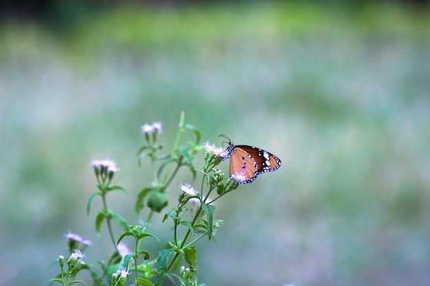 Gewone tijger danaus chrysippus vlinder die nectar drinkt van de bloemplanten in zijn natuurlijke gewoonte