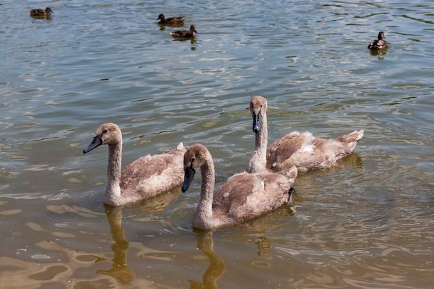 Gewone zwanen met wit verenkleed en grijze kinderen, grijze jonge zwanen in de lente op het meer