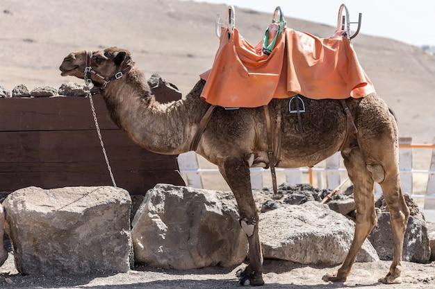 Gezadelde kameel in bijlage in dessert