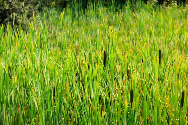 Gezicht op de typha latifolia