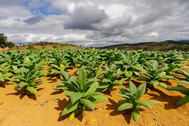 Gezicht op een met tabak beplant gebied in een klein landelijk landgoed in guarani Premium Foto