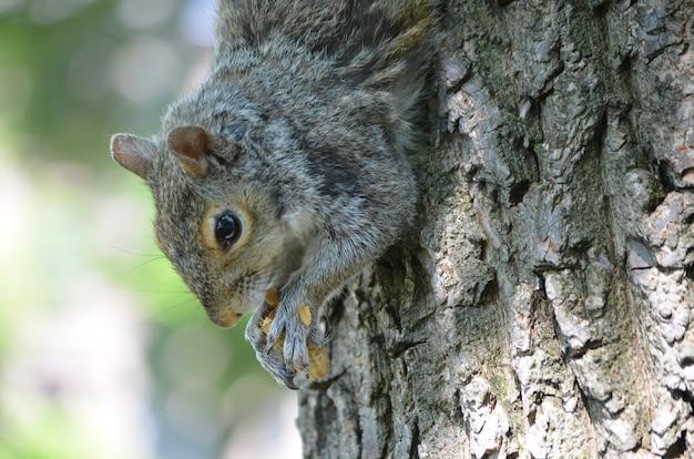 Gezicht van een eekhoorn die met zijn poten een noot vasthoudt