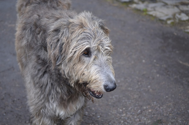 Gezicht van een ierse wolfshondhond met deze zilveren en grijze vacht.