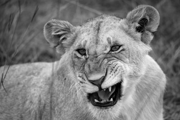 Gezicht van een jonge leeuwin in close-up
