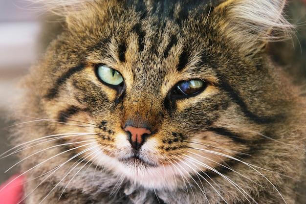 Gezicht van een kattenclose-up met scheelogige ogen
