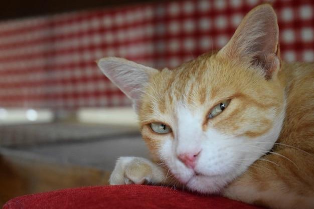 Gezicht van een mooie kat die op een rood kussen onder de eettafel rust