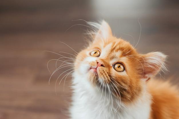 Gezicht van een pluizig gember kitten close-up op een bruine achtergrond