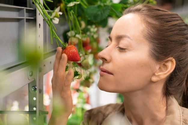 Gezicht van jonge vrouwelijke werknemer van broeikas of verticale boerderij die bij de plank staat met aardbeienzaailingen, rode rijpe bes vasthoudt en geniet van de geur