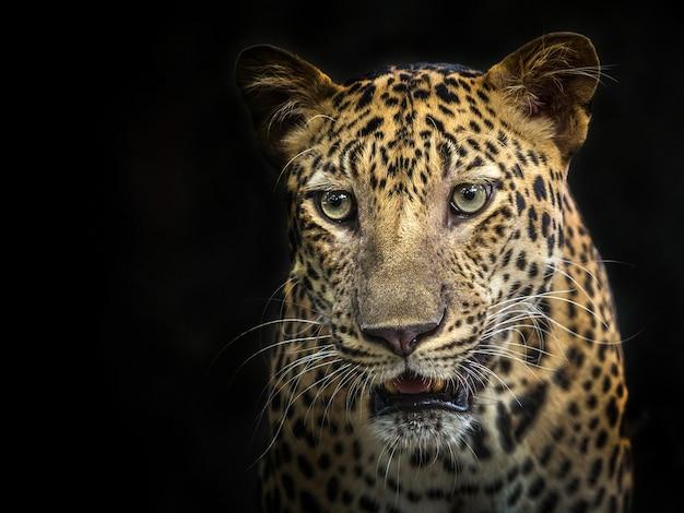 Gezicht van luipaard op de zwarte achtergrond