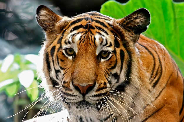 Gezicht van tiger panthera tigris