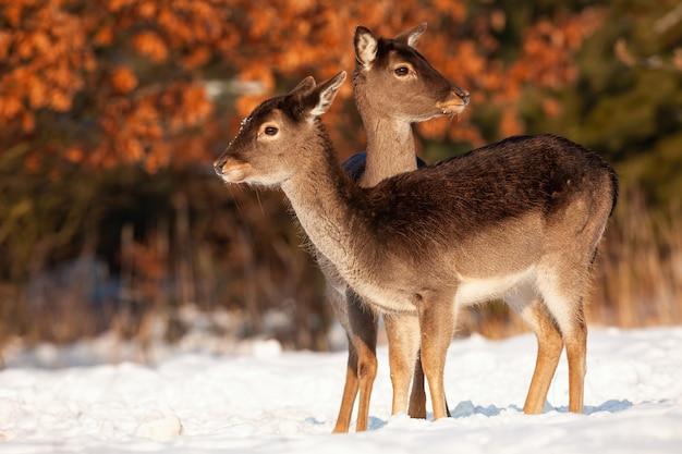 Gezonde damhertenfamilie die zich dicht bij elkaar in de winter bevinden